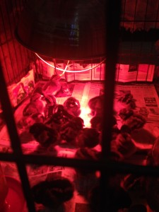Chicks in new home, keeping warm